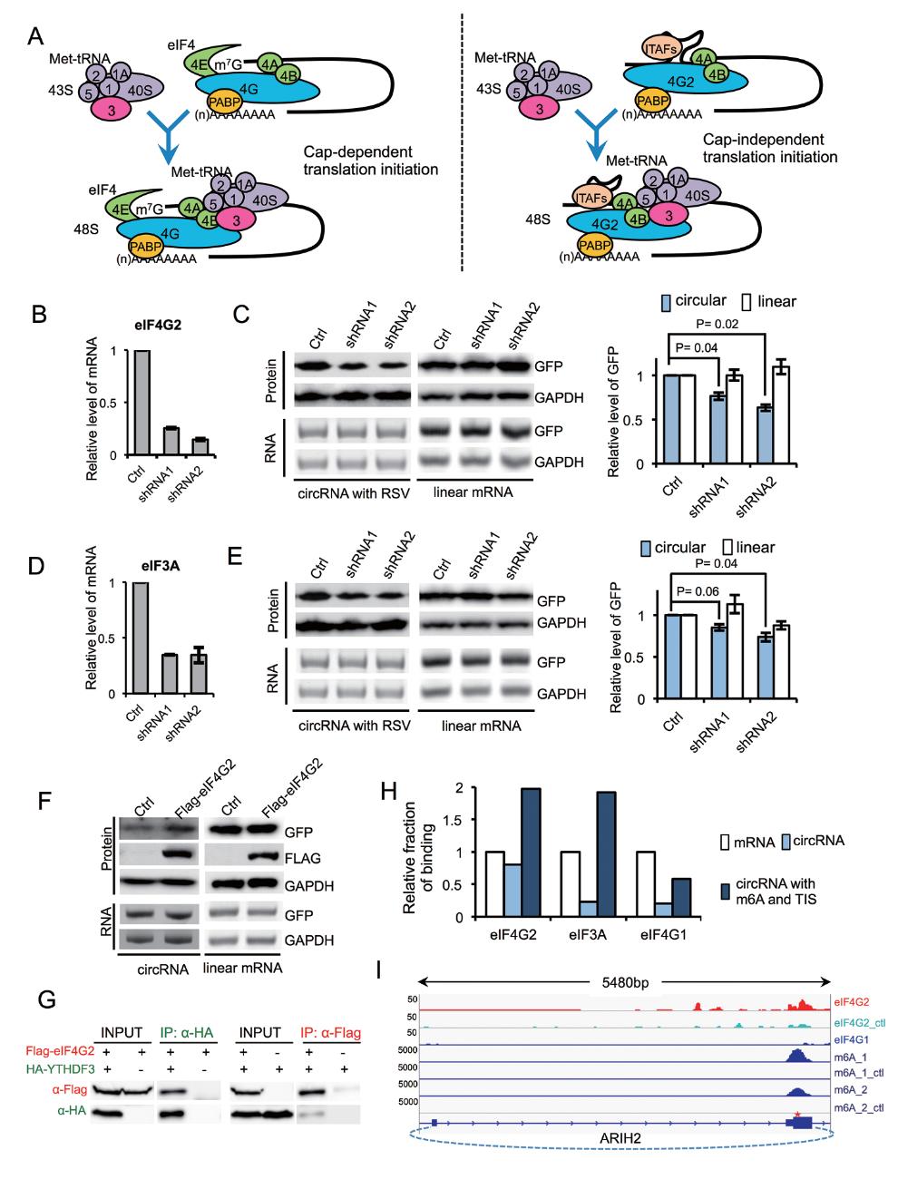 m6A修饰与circular RNA的翻译